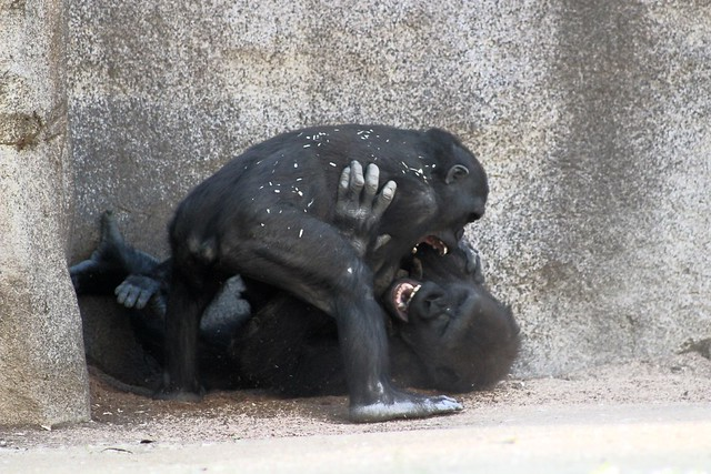 Wrestling  Apes