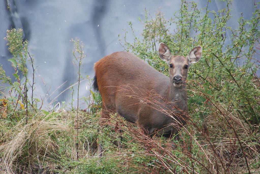 水鹿。資料照,圖片來源:南投林管處。