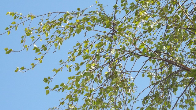 Branches of a Silver Birch