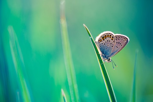 Blue Moon Butterfly | by icemanphotos