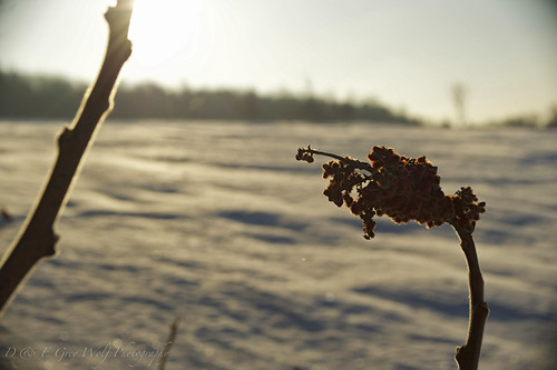 winter snow sunrise sumac