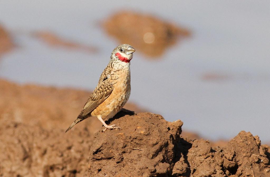 Cut-throat finch, Amadina fasciata at Mapungubwe National Park, Limpopo, South Africa (album includes copulating pair)
