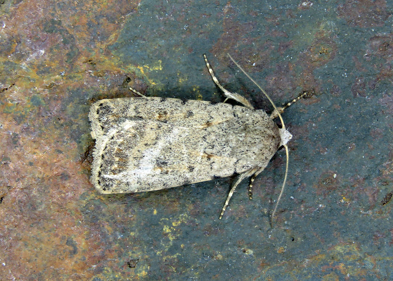 73.095 BF2389 Pale Mottled Willow - Caradrina clavipalpis