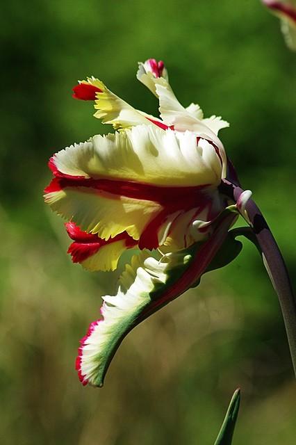 Tulipe multicolore