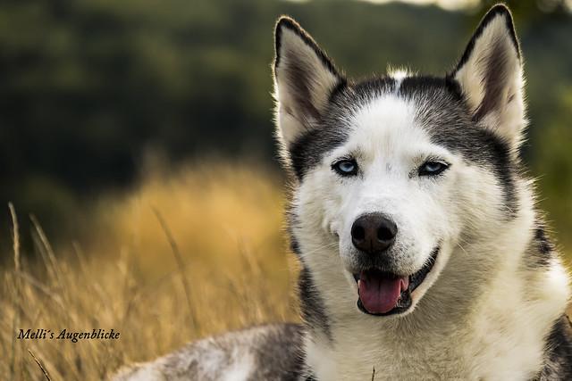Beautyful Husky