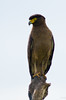 Crested Serpent Eagle 4 by 9dr7