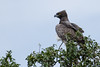 Martial eagle by jcross70