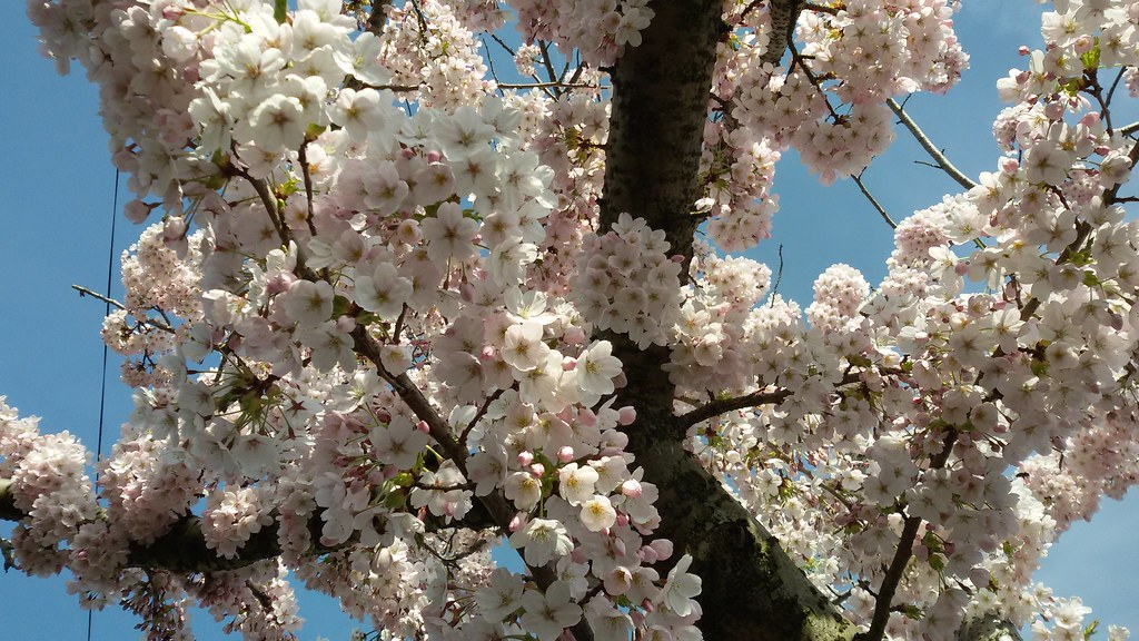 Cherry Blossom In Manchester England April 2015 Flickr