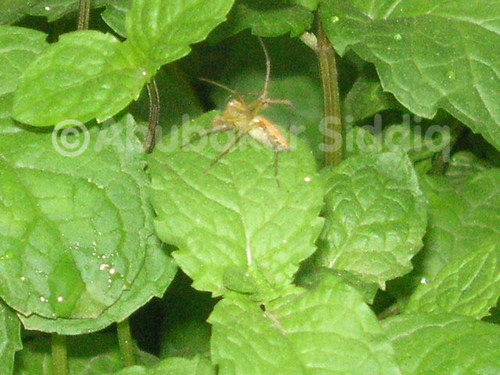 A spider with 2 legs upwards found on mint leave