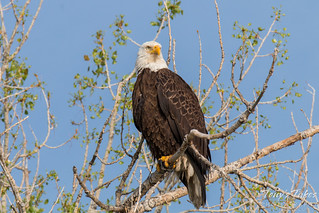 regal bald eagle poses for pictures  this male bald eagle