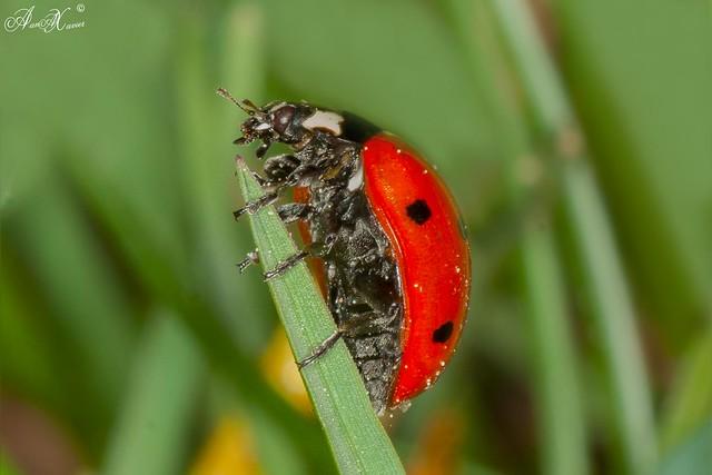 Joaninha, Ladybird (Coccienella septempuntat) - em Liberdade [in Wild]