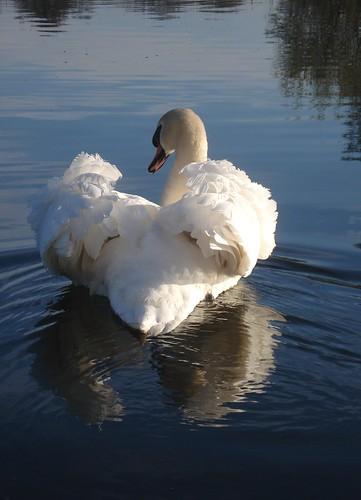 swan shots 2015