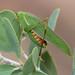 Garden Katydids - Photo (c) Arthur Chapman, some rights reserved (CC BY-NC-SA)