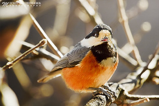 Daurian Redstart ジョウビタキ, II