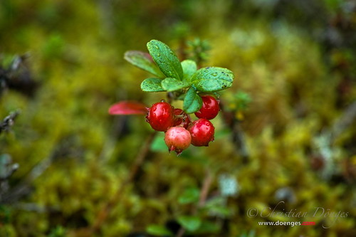 Mountain Cranberry | by Christian Doenges