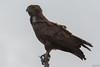 Brown snake eagle by jcross70