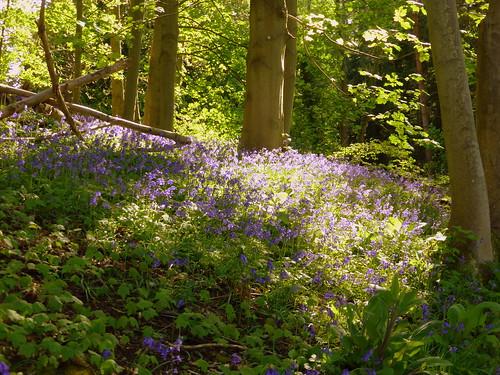 Bluebells, Sheringham Park, 9th May 2015. | by chrisdoward