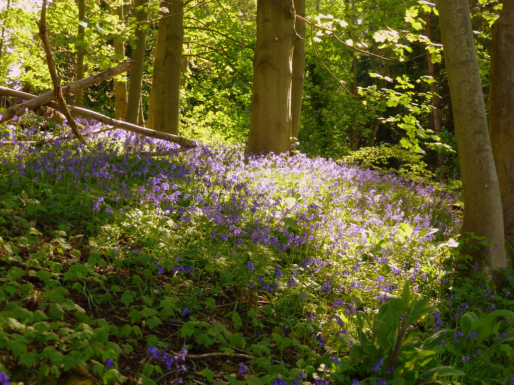 Bluebells, Sheringham Park, 9th May 2015.