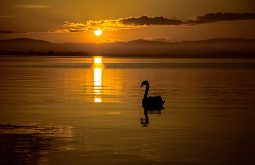 sunset reflection sunshine canon landscape scotland swan wildlife loch waterscape 24105 105mm lochleven grantmorris
