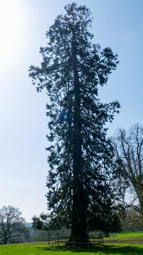 Tall redwood, Worfield