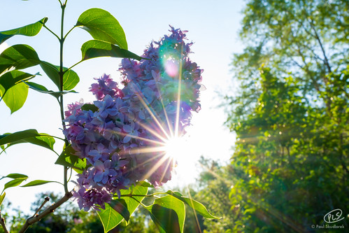 park sun rochester highland lilac sunburst photochallenge2015