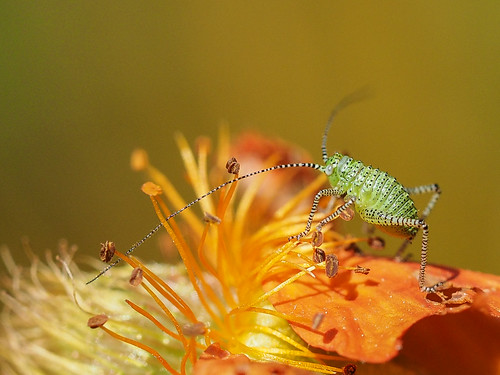 spotted cricket 001 | by Brian Wadie Photographer