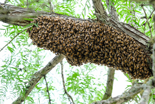 Bees swarming | by Lars Plougmann