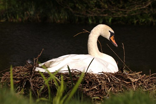 Mute Swan on nest | by Andrew Skotnicki
