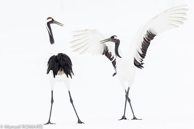 Red-crowned crane, Kushiro