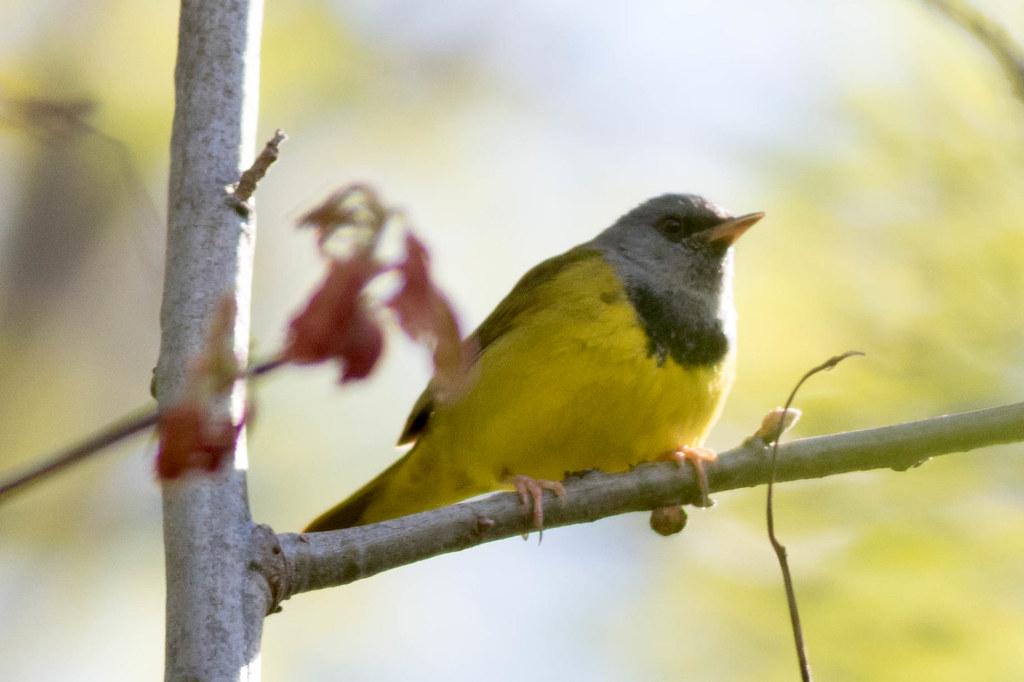 Mourning Warbler-1.jpg