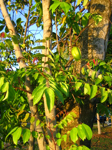 Star Fruit Tree | The only Star fruit tree we came across ...