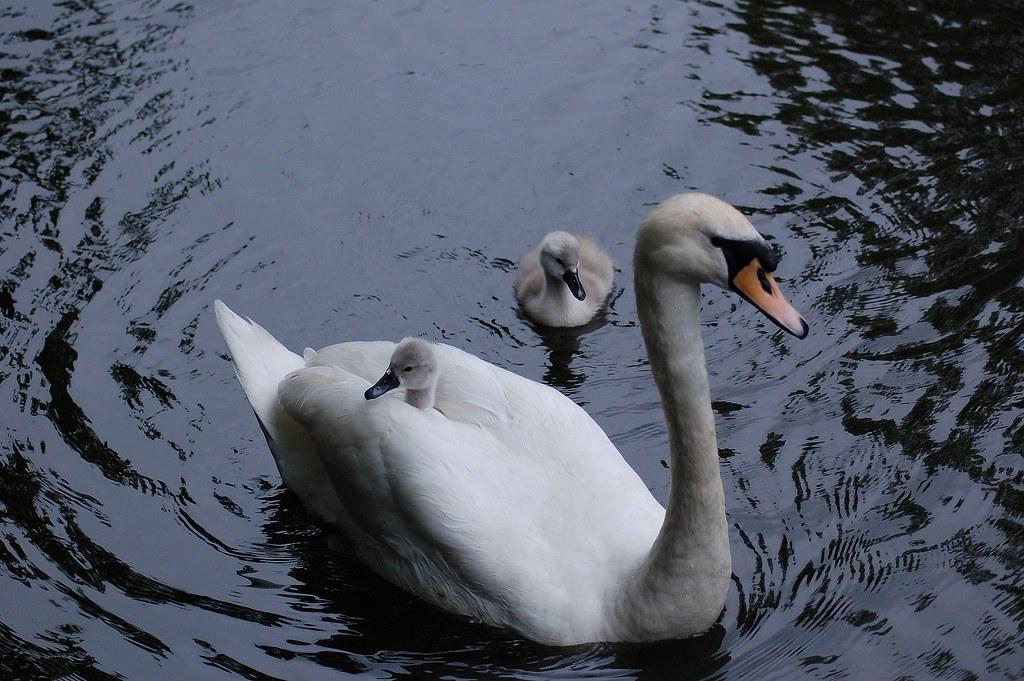 ride a white swan1