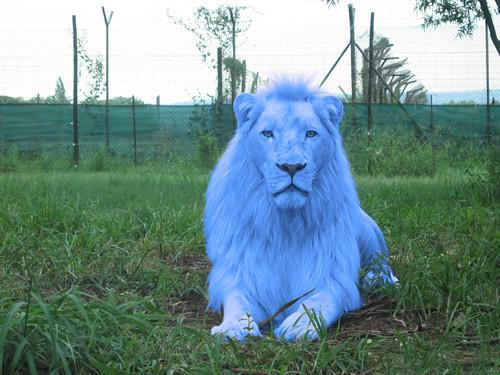 Leão Azul (Blue lion) | Trabalho de Photoshop em cima da