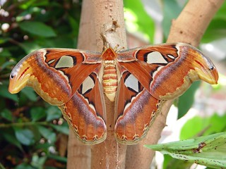 Atlas moth | by fondofsnape