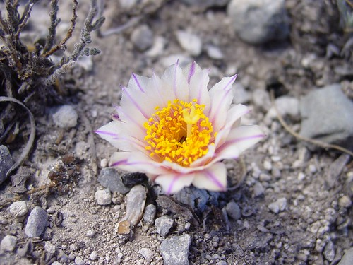 Turbinicarpus pseudopectinatus | by * Hi Tech Bio *