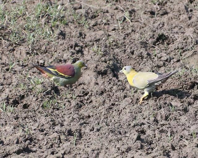 Pompadour Green-Pigeon  & Orange-breasted Green-pigeon