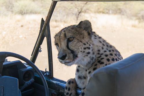 africa cheetah nature 2016 animal cat namibia acinonyxjubatus felidae windhoek otjozondjupa