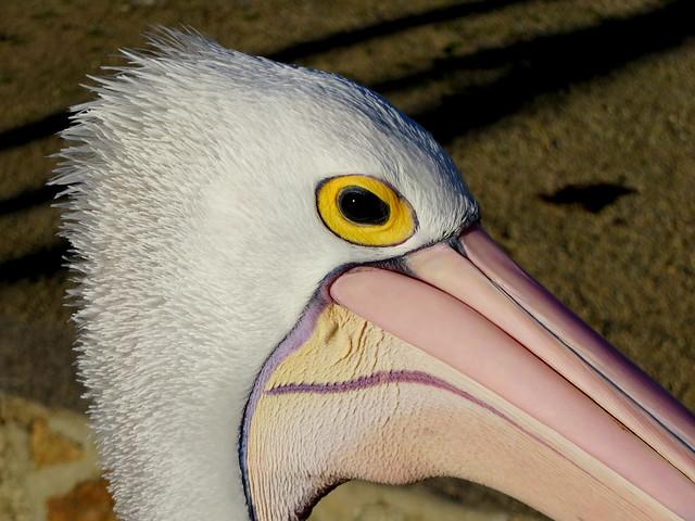 Australian Pelican up close - Pelecanus conspicillatus