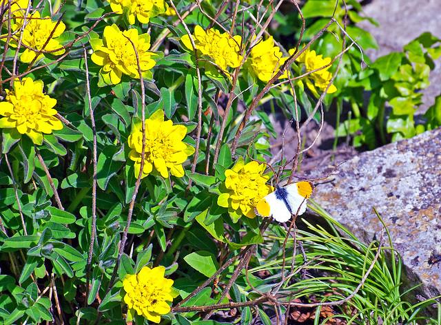 Gelbeblüten ? , IMG_5997_b-1