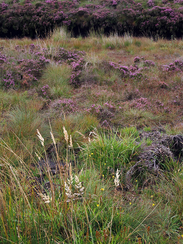 Bog heather in the Antrim Glens, Ireland, UK