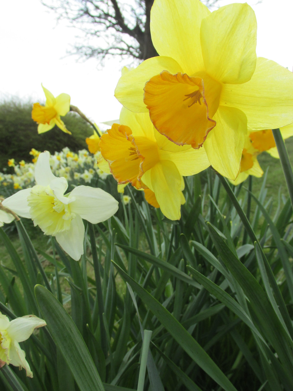 April 6, 2015: Glynde to Seaford Cuckmere Haven daffodils