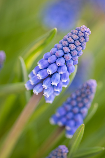 Keukenhof Grape Hyacinth