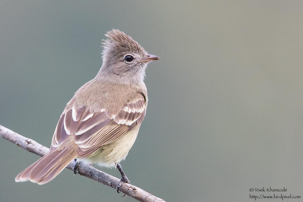 Yellow-bellied Elaenia - Hummingbird Gallery, Tobago