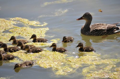Momma and ducklings   by HockeyholicAZ