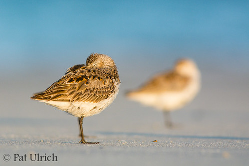 sleeping beach birds wildlife massachusetts dunlin calidrisalpina sandpipers shorebirds plymouthbeach ©patulrich