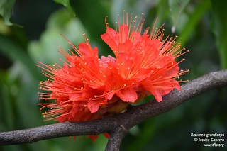 Brownea grandiceps | by tftsmiami
