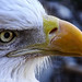 Bald eagle: a closeup by knowneuropean