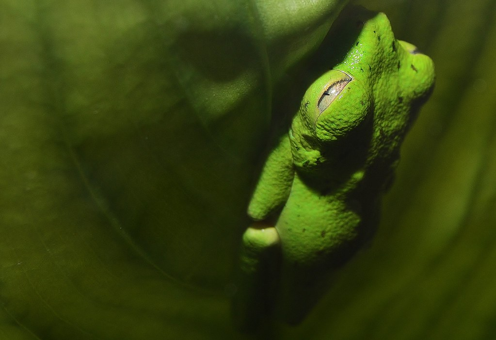 Lemur Tree Frog (Hylomantis lemur) _DSC0805