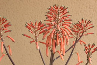 Aloe grandidentata | by -DB-64