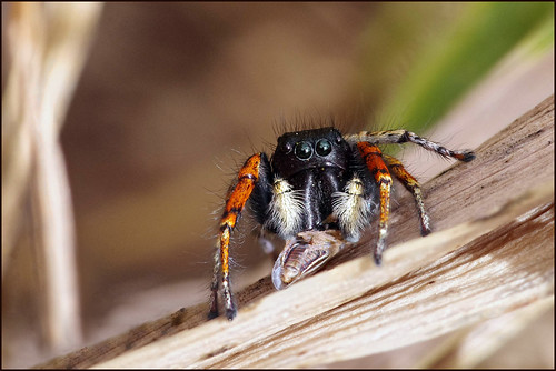 Red - backed jumping Spider  עכביש קופצן